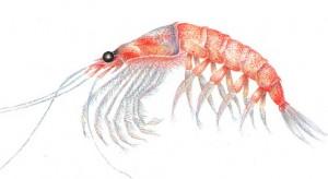 Krill - aliment minune